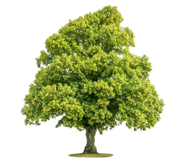Close-up of tree against white background