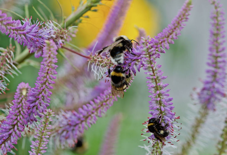 Flowers and bees Animal Themes Animal Wildlife Animals In The Wild Beauty In Nature Bee Bumblebee Buzzing Close-up Day Flower Flower Head Fragility Freshness Growth Insect Nature No People Outdoors Petal Plant Pollination Purple Three Bumblebees Tree Animals