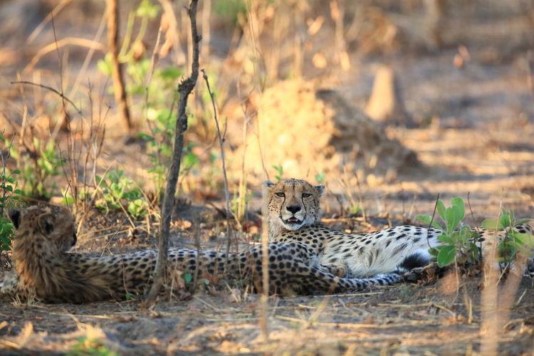 Cheetahs resting on field
