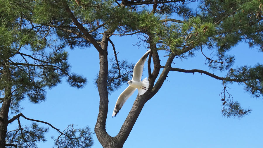 One black headed gull fly against coastal pinus tree in 16x9 format Black Headed Gull Flying Bird Scenic Spread Wings Full Lenght Low Angle View 16x9 Bird Photography