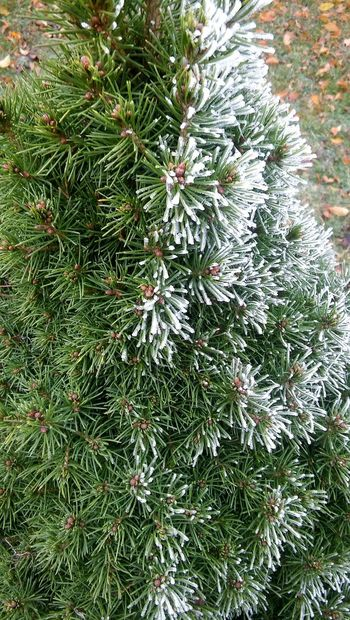 Picea Winter Is Coming Cold Nature Green