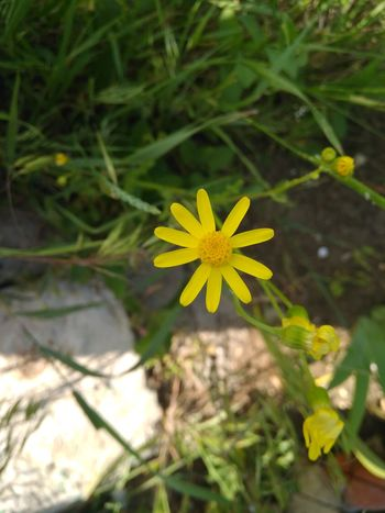 Flower Plant Yellow Summer Outdoors Flower Head Nature Leaf Alternative Medicine Day Fragility No People Close-up Beauty In Nature Beauty Herbal Medicine Freshness