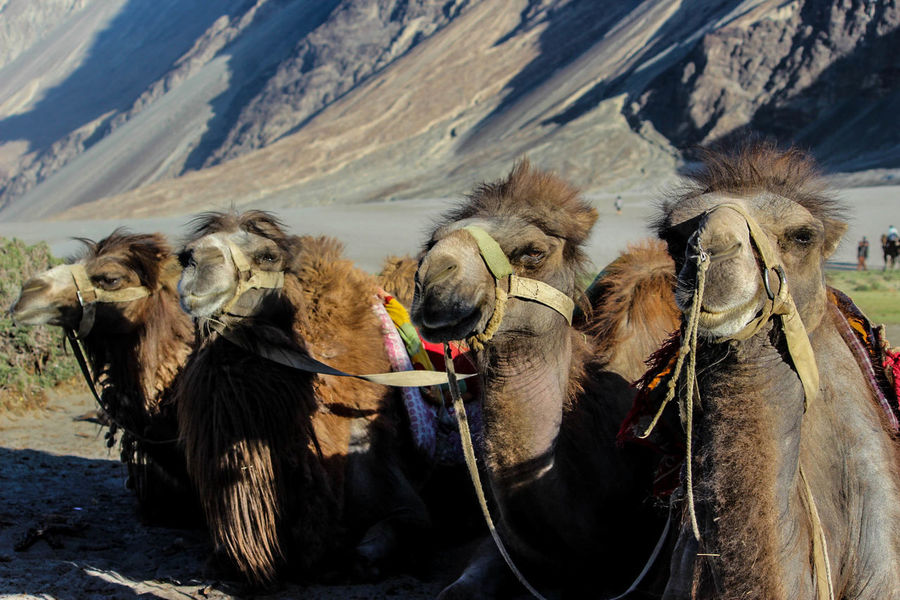 Animal Themes Animals Blue Camels Cute Day Double Hump Camels Mammal Mountain Range Mountains Nature Outdoors Working Animal This Is Family The Portraitist - 2018 EyeEm Awards
