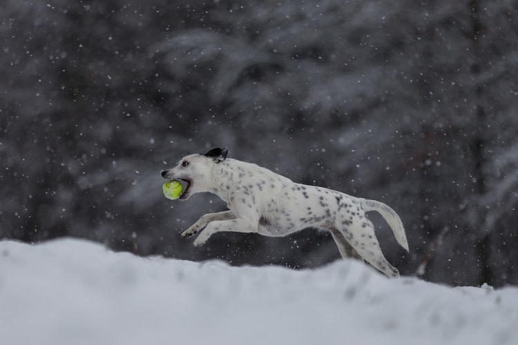 Dog running on snow