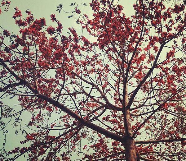 Spring bloom Delhi Palash FlameOfTheForest Spring Flowers Delhioutdoors Delhitrees Metroflora