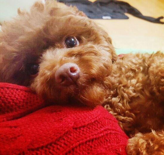 우리집 이쁘니♡ Dog Pet Puppy 푸들 강아지 반려견 귀여운 멍뭉 Poodle Ilovemydog Cute 사랑하는 가족 Family