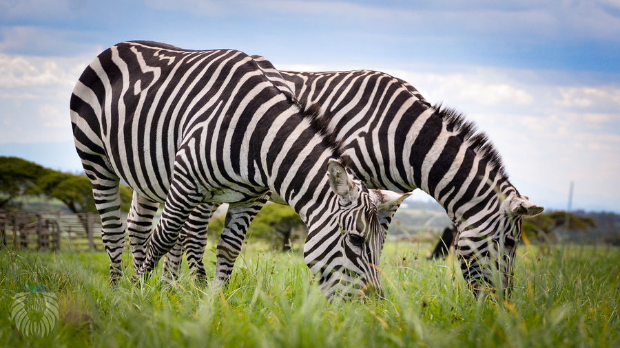 Animal Markings Animal Themes Animal Wildlife Animals In The Wild Beauty In Nature Cloud - Sky Day Field Grass Grazing Green Color Mammal Nature No People One Animal Outdoors Safari Animals Sky Zebra
