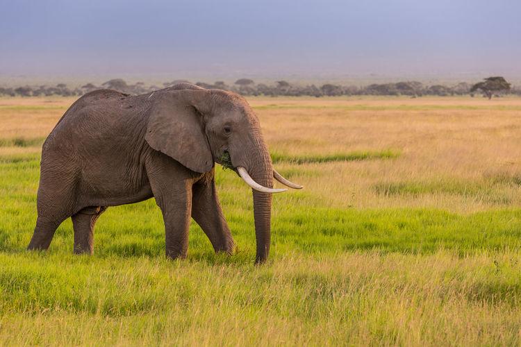 Full length of elephant in a field