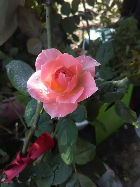 Pink Color Flower Day Petal Rose - Flower Plant Cellphone Photography Rous Camera Beatiful ISO Beauty In Nature