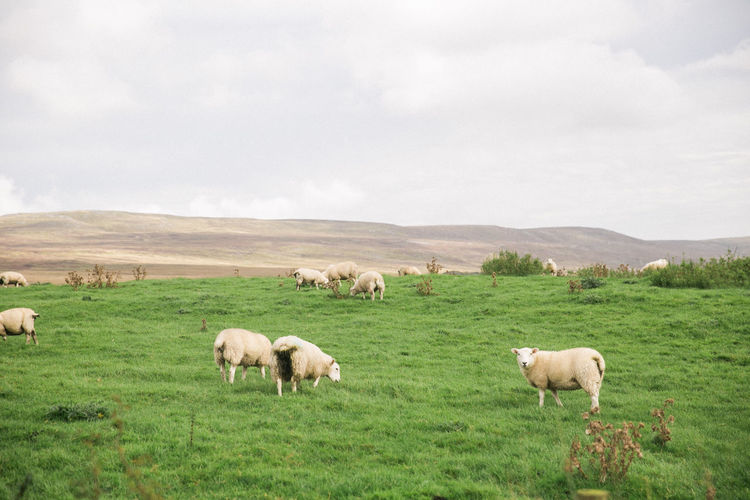 Sheeps near Bowland Forest, Lancashire Bowland Forest Farm Lancashire Low Angle View Animal Themes Beauty In Nature Cow Day Domestic Animals Field Flock Of Sheep Grass Grazing Green Color Herbivorous Landscape Large Group Of Animals Livestock Mammal Nature No People Outdoors Pasture Rural Scene Sheep Sky Tranquil Scene Tranquility
