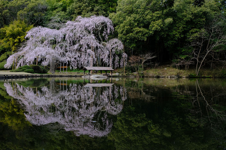 It is a beautiful Cherry Blossoms. Cherry Blossoms Nature On Your Doorstep Pond Beauty In Nature Flower Forest Lake Land Nature Non-urban Scene Outdoors Plant Reflection Reflection Lake Spring Tranquil Scene Tranquility Tree Water Waterfront