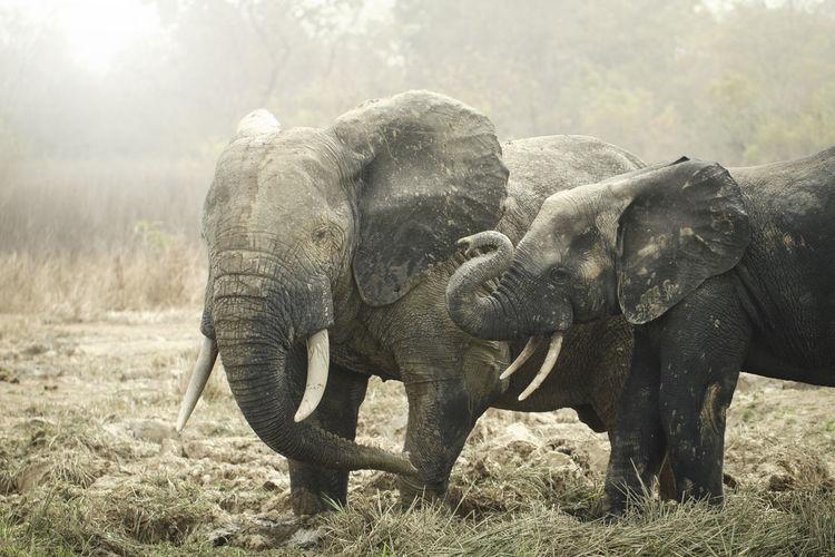 Elephant On Grass