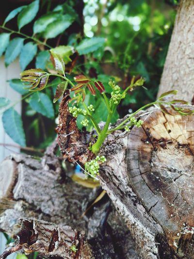 สะเดา สะเดา ผัก Vegetable Day No People Close-up Growth Tree Outdoors Nature Focus On Foreground Wood - Material Textured  Leaf Tree Trunk Beauty In Nature