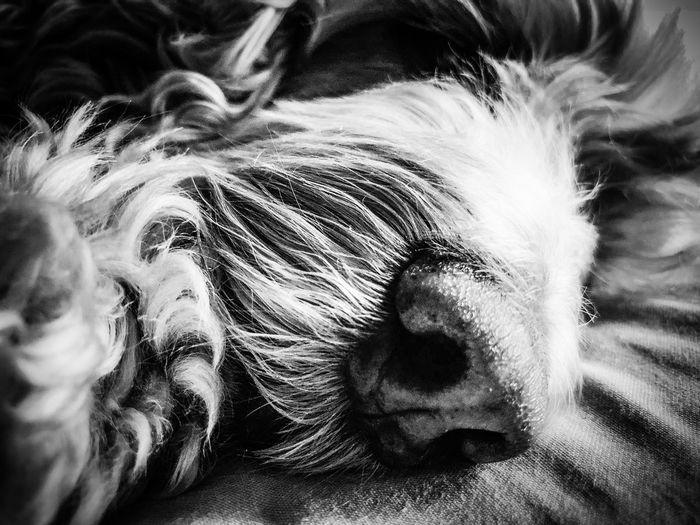 Ella me enamora… Black & White Photography black and white friday Lying On The Floor SiestaTime Sleeping Dog Domestic Animals Animal Themes Pets Dog Mammal One Animal No People Close-up
