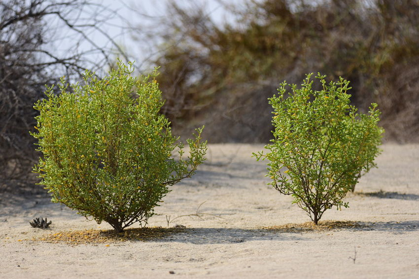Nature Reserve Al Wathba Beauty In Nature Botany Close-up Focus On Foreground Green Green Color Growing Growth Leaf Nature No People Non Urban Scene Outdoors Plant Remote Scenics Selective Focus Sky Tranquility Tree United Arab Emirates