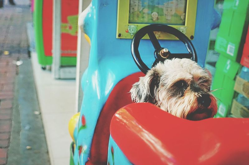 Dog in toy car at park