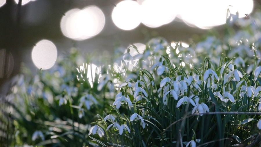Hazy spring mornings are as wonderful as summer afternoons. Light On The River Snowdrops Plant Growth Flower Flowering Plant Freshness No People Beauty In Nature Nature Focus On Foreground Day Fragility Vulnerability  Close-up Outdoors Field Selective Focus Tranquility Lens Flare Sunlight