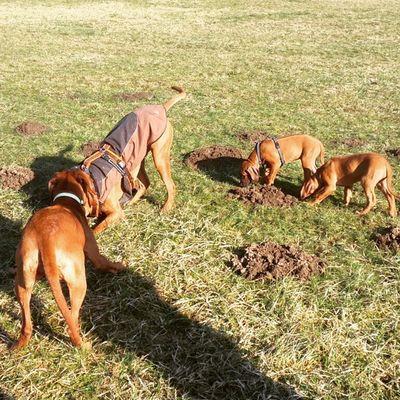 Tante, Onkel, Neffe und Nichte ?Rhodesianridgeback Hund Dog Welpen puppies ridgeback rhodesian picoftheday instadogs love joy liondog löwenhund puppy ohana