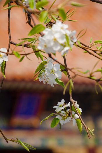 Growth Flower Beauty In Nature Focus On Foreground Nature No People Outdoors Plant Tree Day 故宫 Spring Beijing The Forbidden City  The Palace Museum