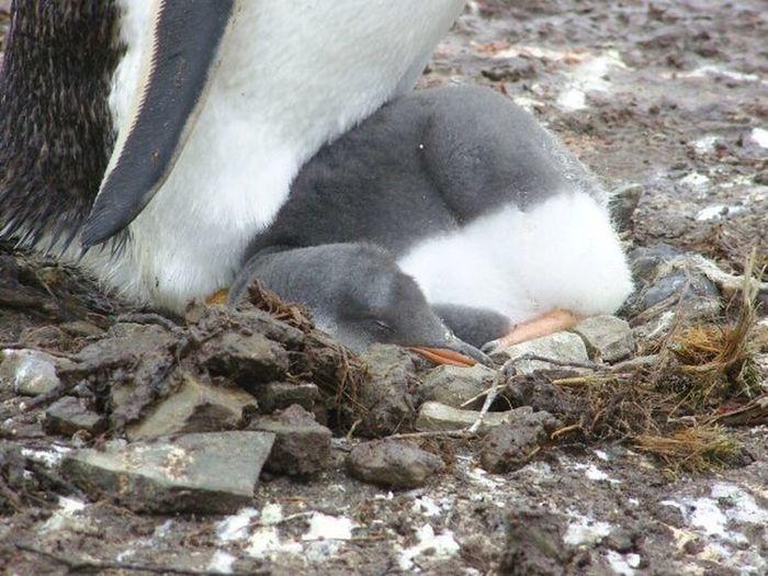 Gentoo Penguin Chick Nest Sleeping
