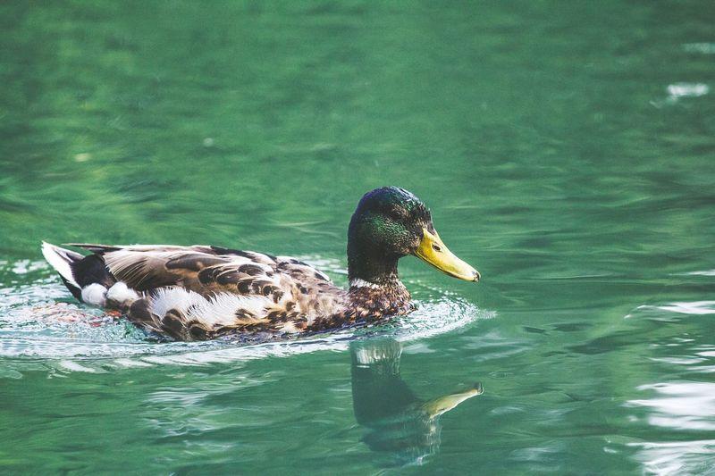Water Swimming Lake Animal Animal Themes Animal Wildlife Animals In The Wild Nature Duck