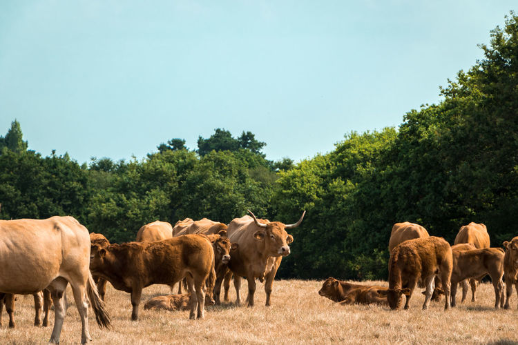 Cows from