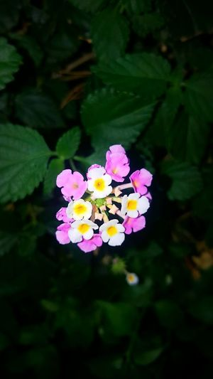 Pink Flower 🌸 Pink Pink Flower Pink Flowers Pinkflower Pinkflowers White White Flower Pembe Pembecicekler Pembe çiçek Pembe çiçekler Beyaz Beyazçiçekler 💐🌸💮🏵🌹🌺🌻🌼🌷⚘