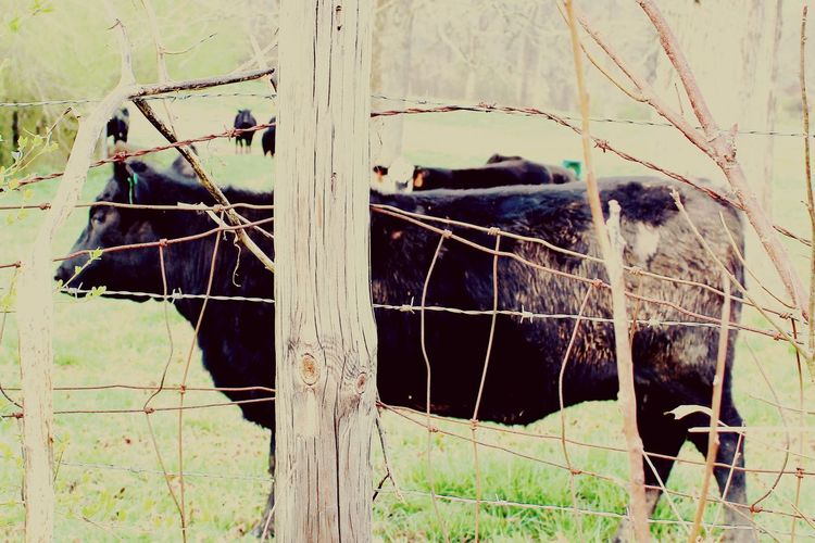 Cows 2 Cow Fence Fence Post With Barbed Wire Bafbed Wire Fence Pasture Mammal Domestic Animals Livestock No People