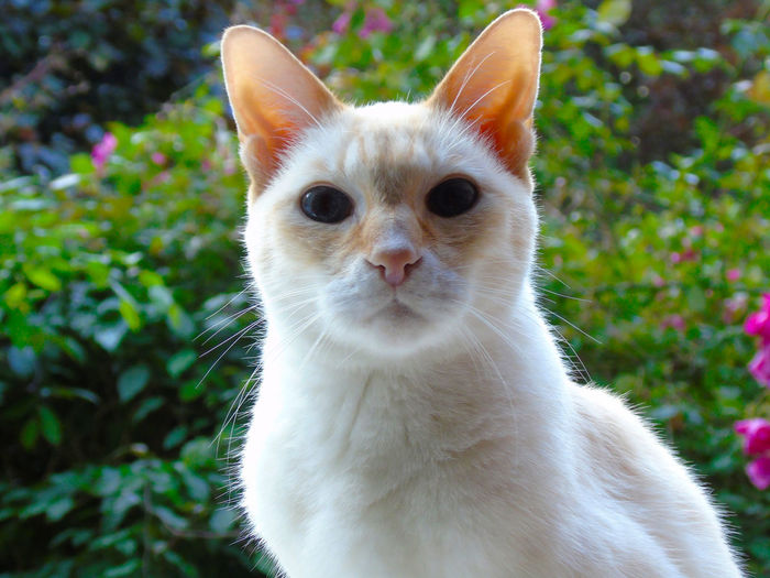 Redpoint siamese cat in garden looking into camera