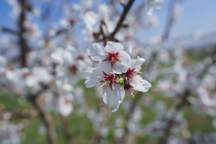 Flowering Plant Flower Plant Freshness Fragility Beauty In Nature Vulnerability  Blossom Tree Growth Cherry Blossom Petal Springtime Nature Close-up White Color Branch Fruit Tree Day Pollen No People Flower Head Cherry Tree Outdoors Spring