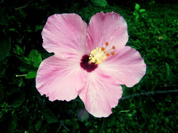 Flower Collection Flower Photography Flowers,Plants & Garden Flowers, Nature And Beauty Hibiscus Flower Flower Head Flower Beauty Petal Pink Color Close-up Plant Hibiscus In Bloom Plant Life Blossom Blooming