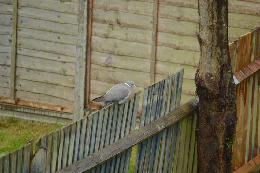 Animal Themes Animal Wildlife Animals In The Wild Beauty In Nature Bird Bird Photography Day Nature No People One Animal Outdoors Perching Perfectly Camouflaged Wildlife In The City Wood - Material Wood Pigeon Wooden Fence