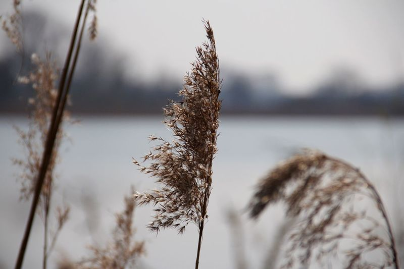 Close-up of dried plant in snow
