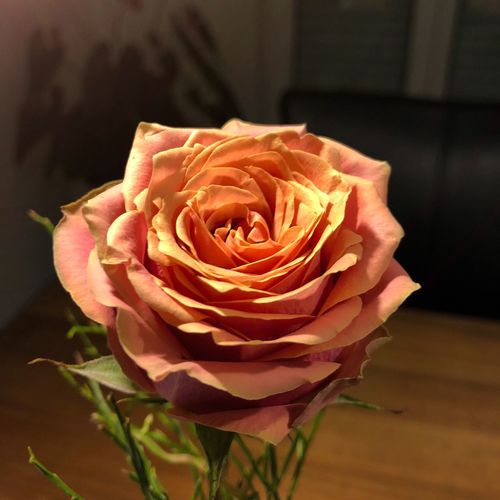 Beautiful. Makro Rose🌹 Flower Petal Rose - Flower Flower Head Fragility Nature Freshness Close-up Growth No People Beauty In Nature Day Plant Indoors