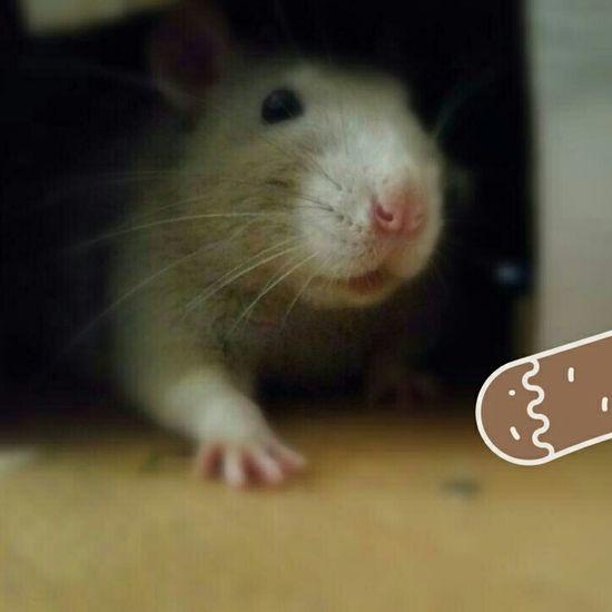 ᴛᴇᴅᴅʏ ❤❤❤ ᴘʜᴏᴛᴏ ᴘʜᴏᴛᴏɢʀᴀᴘʜɪᴇ Animals Animal ᴡɪɴᴛᴇʀ Freelance Life Ratte Ratties Cutie Rat Pet Rattie Rats Ratstagram ғᴜɴ