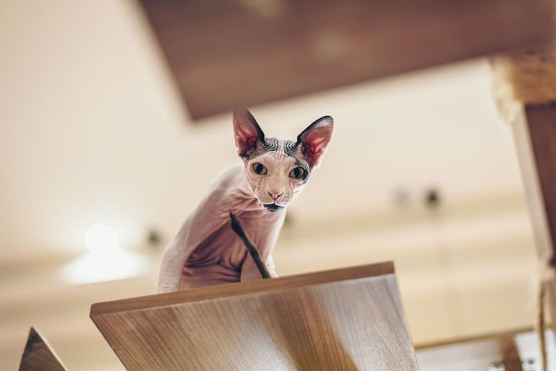 Sphinx cats look cute and elegant, with short hairs standing on high wooden floors. Active Animal Eyes Face Hairless Cat Pet Pretty Sphinx