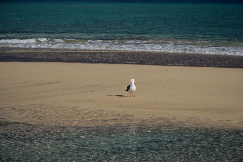 dove Fuerteventura Animal Themes Animal Wildlife Animals In The Wild Beach Beauty In Nature Bird Day Dove Horizon Over Water Nature No People One Animal Outdoors Perching Sea Seagull Water Wave