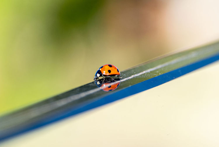 Seven spotted ladybird beetle walking along a glass divider with reflection