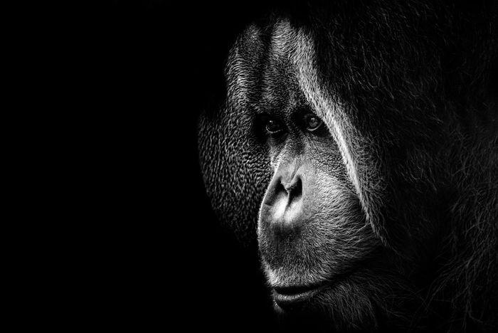 Check This Out Sad Face Zoo Animals  Zoo Dramatic Lighting Dark Black & White Blackandwhite Ape Sadness Leipzig