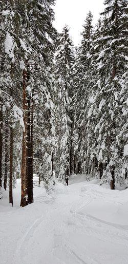 Tree Tree Area Snow Cold Temperature Winter Mountain Polar Climate Forest Pine Tree Pinaceae Snowdrift Ski Track Ski Lift Skiing Ski Resort  Ski Holiday Snowing Snowfall