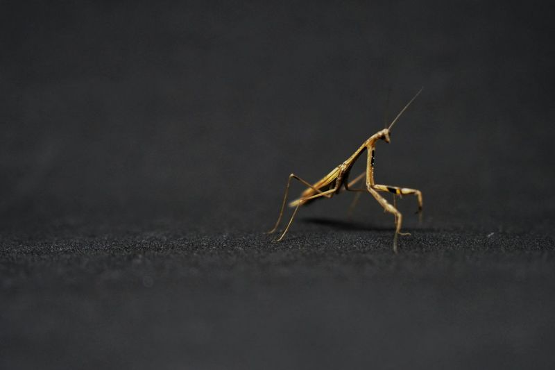 brown mantis isolated on a black background Animal Animal Body Part Animal Themes Animal Wildlife Animals In The Wild Antenna Arthropoda Black Background Brown Close-up Day Ecology Full Length Gray Insect Invertebrate Mantis Nature No People One Animal Portrait Praying Praying Mantis Predator Selective Focus Studio Shot Wildlife Zoology
