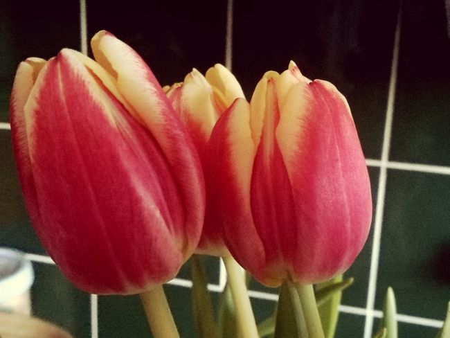 spring into spring Tulip Tulips Flower Fragility Indoors  Growth Close-up No People Petal Freshness Flower Head