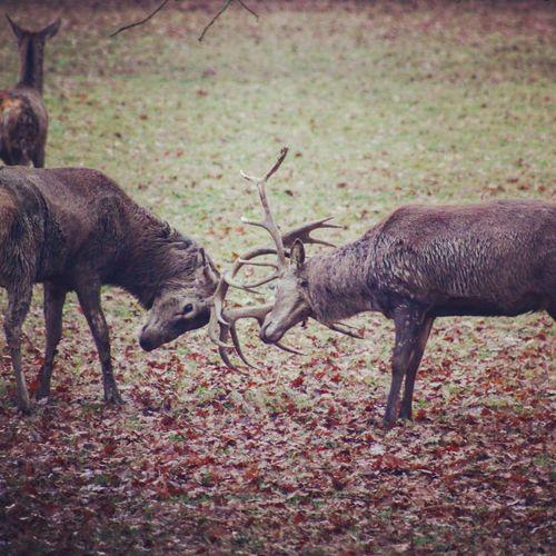 Animals In The Wild Animal Themes Nature Fighting Animal Behavior Antler Outdoors No People Mammal Day Stag Moose Deer Rut Red Deer Deer Rutting