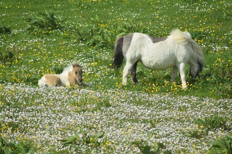 Fences Foal Foals Green Green Grass Growth Horse Horse Life Horse Photography  Horses Pembrokeshire Pony Ponys Shetland Pony Wales Welsh Ponys