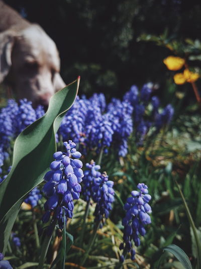 Weimaraner and flowers... :) Nature Beauty In Nature Animal Themes Flowers Flora EyeEm Best Shots EyeEm Best Edits EyeEm Best Shots - Nature Weimaraner Dog Nature Lover Flower Head Flower Purple Petal Iris - Plant Springtime Botany Close-up Plant Green Color Lavender Colored