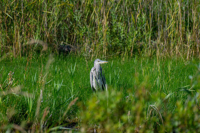 Grey heron hiding in long grass Heron Bird Wildlife & Nature Animal Animal Themes Animal Wildlife Animals In The Wild Beauty In Nature Bird Day Field Grass Gray Heron Gray Heron On The River Shore Green Color Grey Heron  Grey Heron On The River Shore Growth Heron Land Nature No People One Animal Outdoors Plant Vertebrate