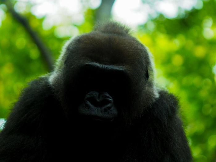 Close-up of gorilla outdoors