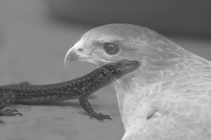 Hunter And Prey Animal Themes Black & White Black And White Lizard Eagle Blackandwhite Blackandwhite Photography Bnw Bird Bird Photography Eye4photography  EyeEm EyeEm Best Shots EyeEm Bnw EyeEmBestPics Monochrome From My Point Of View Edited My Way Close-up Edited EyeEm Gallery Taking Photos Portugal Cut And Paste