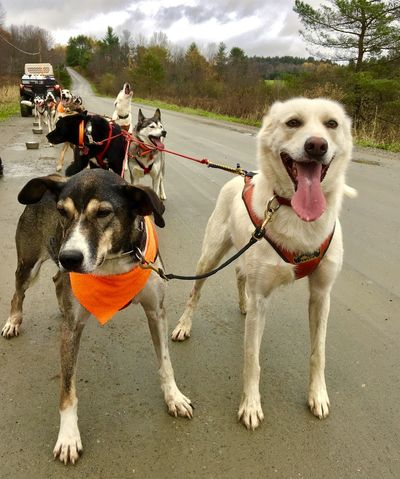 Happy Leaders and a singer in the background Alaskan Huskies Animal Themes Day Dog Dog Sledding Domestic Animals Mammal Mushing Nature No People Outdoors Pets Two Animals Pet Portraits