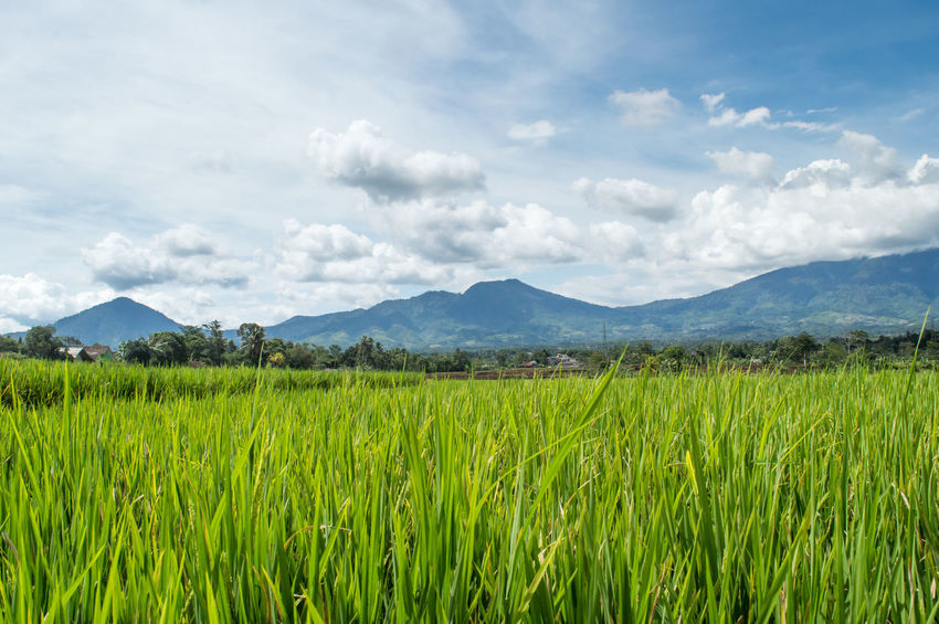 West Java. https://www.youtube.com/watch?v=2nrgTossoB0&t=502s Rice Paddy Agriculture Beauty In Nature Cloud - Sky Crop  Environment Farm Field Green Color Growth Land Landscape Mountain Mountain Range Nature No People Outdoors Plant Rice Field Rural Scene Scenics - Nature Sky Tranquil Scene Tranquility